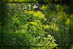 nikon_d90_nikkor_18_105_vr_21.08.16_05 (malemonada) Tags: forest wood green summer outdoor goldenrod bokeh latesummer depthoffield plant