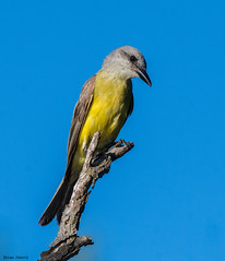 Tropical/Couch's Kingbird (b88harris) Tags: tropical couchs kingbird baltimore county maryland marsh yellow grey brown rare tropics nikon d7200 nikkor 300mm lens sunlight sunshine exposure light nature songbird bird ngc