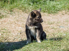 Husky puppy (James E. Petts) Tags: dog greenland kulusuk fauna husky puppy sled summer zd 50200mm