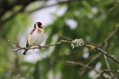 sur ma branche. (poun'ish) Tags: chardonneret lgant oiseau bird nature jardin