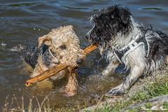 EBNISEE MIT KONI-3520 (rentmam1) Tags: ebniseemitkoni dog hund motte lenny