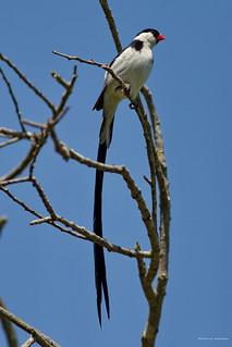 Pin-tailed Whydah, male, Huntington Beach CA CQ4A8911
