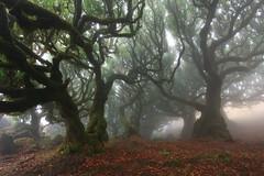 Primordial bond (mkii) (RicardoPestana2012) Tags: trees forest nature fog mist fanal madeira madeiraisland fairytale lordoftherings twisted moody eerie