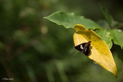 Enjoy the sunlight  (Ming_Young) Tags: bokeh leaf taiwan autumn moth      2470mm