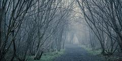 Blue Mist (hammermad) Tags: 2016 essex fog foggy forest garnettswood tree trees winter