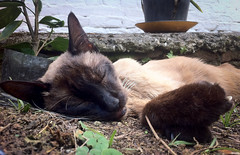 Snoozing on his last full day (MastaBaba) Tags: carapicuiba brazil br oli oliver cat cute sweet beautiful sleep snooze snoozing face paw sopaulo saopaulo 20161010
