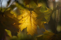 Autumn (rubalanceman) Tags: autumn leaf sun