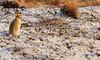 The first snow of winter (markrellison) Tags: snow animal animals mammal hare northwest unitedkingdom britain snowy derbyshire peakdistrict wintercoat moors f80 moorland lightroom iso500 600mm mountainhare lepustimidus lr4 11600sec canoneos5dmarkiii lightroom4 ef300mmf28lisusm2xiii