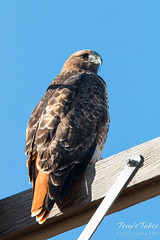 Red Tailed Hawk keeps close watch