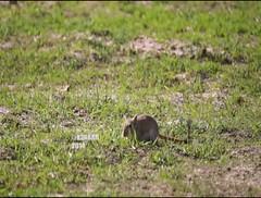 #Video #Wild #Mouse #Rat #animals # # # # # # #_# # # # #ksa #videoshowapp make by @videoshowapp (photography AbdullahAlSaeed) Tags: wild animals mouse video rat