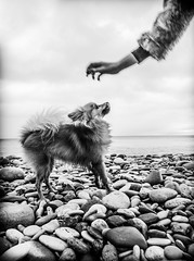 Boo the Pomeranian. (CWhatPhotos) Tags: pictures camera uk portrait england dog pet brown white 3 black cute beach monochrome animal digital hair that lens photography eos prime mono three pom foto with shot image feeding artistic pics dwarf mark sandy iii north picture pic images boo east have photographs photograph fotos feed manual pomeranian which spitz f28 mk contain pompom seaham 14mm samyang zwergspitz canpn cwhatphotos dwarfspitz