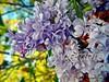 NOVIEMBRE (Aprehendiz-Ana Lía) Tags: flores color luz argentina nikon flickr bokeh mardelplata jardín lilas calendario fotografía analíalarroudé museovillavictoria