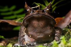 Horned Frog (antonsrkn) Tags: wild macro nature forest asia amphibian jungle malaysia borneo herp danum herpetology danumvalley dvfc megophrys longnosedhornedfrog dvca megophrysnasuta malayanhornedfrog malayanleaffrog