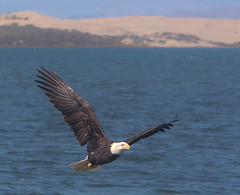 The Beautiful Gift of Nature (Atascaderocoachsam) Tags: eagle birding baldeagle birdwatcher americanbaldeagle droh sweetspringsnaturepreserve dailyrayofhope