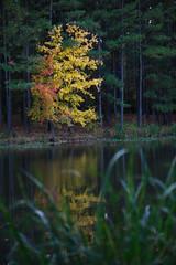 autumn at Harris Lake 8 (furrycelt) Tags: trees lake color reflection fall nature water grass leaves forest woods nikon autum natural 85mm northcarolina d600 harrislake nikon85mmf14 newhillnc nikon85mmf14afd shearonharrisreservoir lensblr photographersontumblr