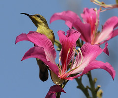 Olive-backed Sunbird (Wild Chroma) Tags: birds thailand sunbird ayutthaya nectarinia passerines cinnyrisjugularis jugularis nectariniajugularis cinnyris