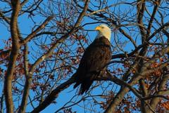 Same bird, same tree, different day...Staten Island, NY (superpugger) Tags: statenislandbaldeagles baldeagles newyorkcitywildlife lawrencepugliares lpugliares haliaeetusleucocephalus