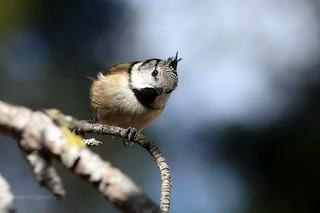 Crested tit (Lophophanes cristatus) _8510