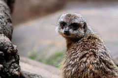 Meerkat (Reinfox) Tags: animal mammal meerkat uenozoo canonef70200mmf28lisiiusm canoneos7dmarkii