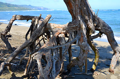 Uprooted Tree Art (John W Olafson) Tags: art beach hawaii waves coconut roots maui driftwood shore reef waiheebeach
