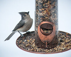 birds maine brunswick canon5d tuftedtitmouse baeolophusbicolor lightroom5