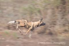 African Wild Dog Hunting (Chris Hawes Photography) Tags: dog southafrica krugerpark africanwilddog