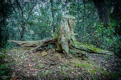 angel caido del bosque (hecho por la naturaleza y para la naturaleza) Tags: bosque angelcaido llinarsdelvalleslapedrera figurasnaturaeza