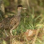 Inambú Montaraz (Nothoprocta cinerascens).  Brushland Tinamou.