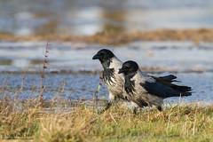 January 13th 2015 (_alcedo_) Tags: winter nature birds gulls lithuania songbirds breeder hoodedcrow corvuscornix corvids passerines wintering nemunasdelta ya floodedmeadows borisbelchev wwwalcedowildlifecom rupkalviai