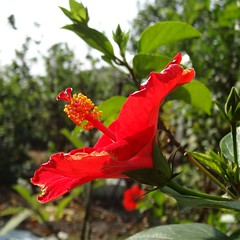 big and red flower (oneroadlucky) Tags: red plant flower nature hibiscus