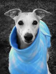 All Dressed Up (DiamondBonz) Tags: blue dog sweater hound whippet spanky dogchal