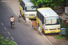 IMG_4962 (Malphoto Gallery) Tags: trip summer india elephant cow goat jaipur elephantride rajasthan amberfort chapatis mahouts holycow indianculture indiancow indianfarm goatfarming governmentofrajasthan elephantvolunteerwork hinduismblessedbovines royalamberfort