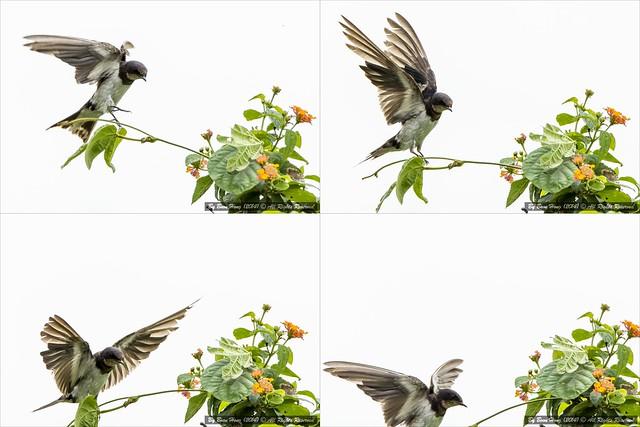 _DSC7382-1-tile_Barn swallow (Hirundo rustica)