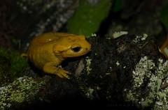 Salamandra salamandra alfredschmidti ([Ahio]) Tags: nature animal yellow fauna zeiss amphibian asturias 100mm salamandra nava 2014 caudata firesalamander fuensanta urodela zf2 makroplanart2100 salamandrasalamandrabernardezi d800e agnicieza