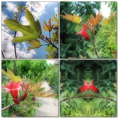 (Tlgyesi Kata) Tags: lngfa brachychitonbidwillii kurrajong fvszkert botanikuskert botanicalgarden withcanonpowershota620 summer mosaic mozaik redflower blossom nyr