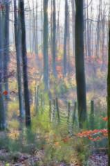 las ze snu (kilkachwil1) Tags: las autumn tree forest leaf dream foggy jesień buki liście drzewa bajki senny zamglony