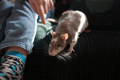 (Shannon*M) Tags: pets ellie rats roo