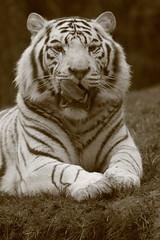 Zoo de La Flche 26.12.2014 104 (MUMU.09) Tags: france animal zoo tigre carnivore flin panthera pantheratigris sarthe felidae laflche pantherinae tigreblanc fliformes mumu09 zoodelaflche26122014
