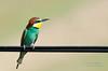 Bee-eater (Esmaeel Bagherian) Tags: bird birds nikon birdwatcher beeeater 2016 پرندگان 1395 birdsphotography پرندهنگری nikond7000 زنبورخوار اسماعیلباقریان esmaeelbagherian پرندگانایران حیاتوحشایران