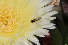 Flower Fly on Ice Plant (SolanoSnapper) Tags: hoverfly flowerfly syrphid