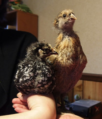 Weetzie Bat sits while Miss Hazel Handkerchief stands on Nadja's hand (benchilada) Tags: chickens chicken hand bat hazel while handkerchief miss sits stands nadjas weetzie chickum chickums