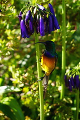 DSC02077 (katelynnsak) Tags: africa garden sunbird