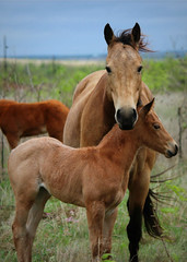 It's So Easy.... (It Feels Like Rain) Tags: horses horse mare texas westtexas equine mares foal foals aqha itssoeasy texasranches americanquarterhorseassociation maresandfoals itssoeasytofallinlove