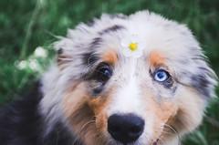 Random... (Alice Veresova) Tags: dog mydog miniaussie summer animals