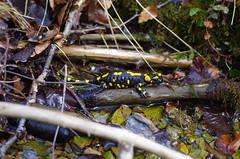 Feuersalamander (Aah-Yeah) Tags: bayern salamander salamandra achental chiemgau feuersalamander schwanzlurch
