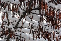 Algarrobas (jdelrivero) Tags: trees snow arboles nieve ciudad elements snowing provincia albacete tiempo nevar elementos