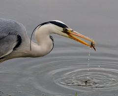 (lisacartwheels21) Tags: bird heron nature wildlife waterfowl staffordshire 2016 doxeymarshes
