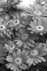 Flowers Mono - May 2016 (GOR44Photographic@Gmail.com) Tags: flowers bw flower macro canon mono petals 100mm 100mmf28 canon100mm 60d gor44