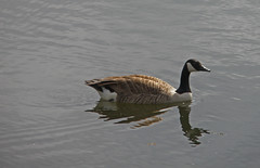 Brandon Marsh (amandabhslater) Tags: lake water birds naturereserve canadagoose brandonmarsh
