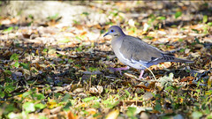 Dove (Zahid - At sea - Thanks for the views ,Favs and co) Tags: bird beautiful grass leaves animal eyes bright bokeh outdoor vibrant beak depthoffield beautifulbird